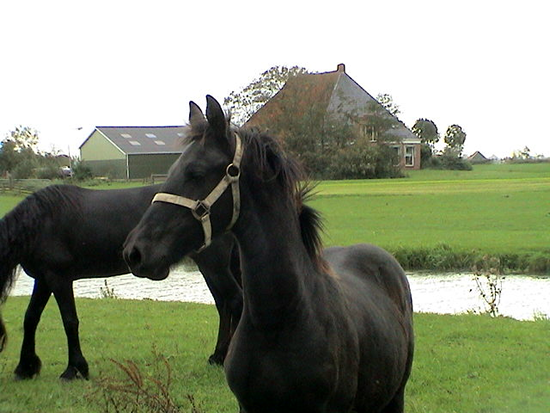 Tsjitske and her Mom as a weanling in the Netherlands