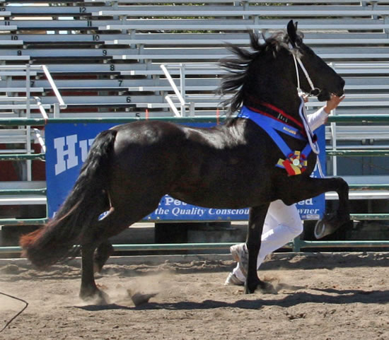 Tsjitske awarded 1st Premie Ster, Provisional Kroon, Champion Mare, Champion of the Day and Grand Champion at the 2009 Santa Rosa Keuring
